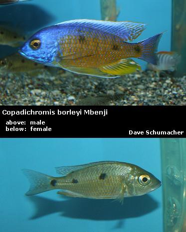 labidochromis caeruleus golden