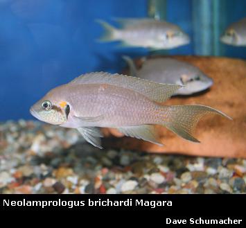 Dave s Rare Aquarium Fish-Price List d0b6784be1e