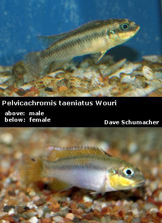 FS WC Pelvicachromis taeniatus  quot Wouri quot  pairPelvicachromis Taeniatus Wouri